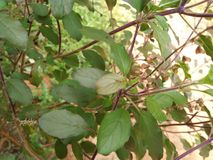 Tulsi plant Royalty Free Stock Images
