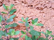 Tulsi plant. In the old bricks background Royalty Free Stock Photos