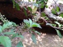 Tulsi roślina obraz stock