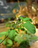 Φύλλα Tulsi στοκ εικόνα με δικαίωμα ελεύθερης χρήσης