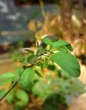 Листья Tulsi стоковое изображение rf