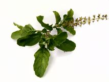 Tulsi ,holy basil Royalty Free Stock Photography
