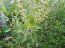 Tulsi växt/helig basilika Arkivfoton