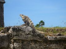 Tulum墨西哥玛雅人破坏leguan的海滩 免版税库存照片