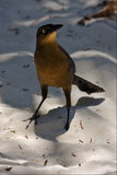 Tulum front sparrow whit gold eye   sand mexico Royalty Free Stock Photography