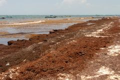 Patches of Sargassum seaweed at Tulum Beach. royalty free stock photography