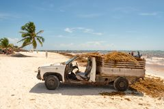 Truck loaded with Sargassum seaweed at Playa Paraiso. stock images