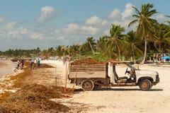 Truck loaded with Sargassum seaweed at Playa Paraiso. royalty free stock photography