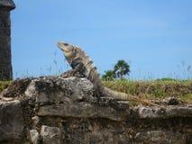 Tulum Mexico majowia ruiny wyrzucać na brzeg leguan Zdjęcie Royalty Free