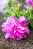 Tumbelina Petunia Stock Photo