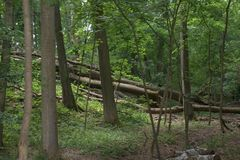 Tumbled, toppled trees piled on a gentle rise in the middle of a green temperate forest with rich foliage. A number of tumbled, toppled trees piled parallel to Royalty Free Stock Photos