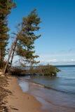 Tumbled tree at the shore Royalty Free Stock Image