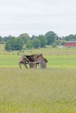 Tumbledown barn on a field. Cows in the background Royalty Free Stock Images