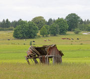 Tumbledown barn on a field. Cows in the background Stock Photos