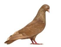 Tumbler belgium pigeon isolated on white Stock Photo