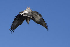 Tumbler pigeon Stock Image