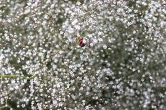 Tumbleweed, младенцы дыхание, paniculata гипсофилы, абстрактная естественная предпосылка, завод полет в поле Стоковые Изображения RF