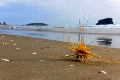 Tumbleweed on the beach. In New Zealand. Gone with the Wind Royalty Free Stock Photo