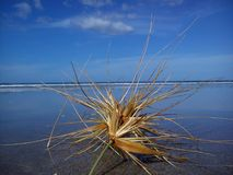 Tumbleweed on the beach. In New Zealand. Gone with the Wind. Here today and gone tomorrow Royalty Free Stock Photo