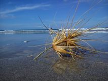 Tumbleweed on the beach. In New Zealand. Gone with the Wind Stock Image