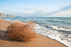 Tumbleweed. On the beach in the photo Stock Images