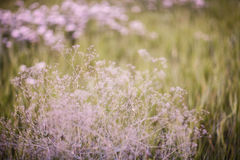 Tumbleweed. Beautiful field. Summer meadow. Pink flowers. Tumbleweed. Forest. blooming summer meadow Stock Photography