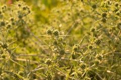 Tumbleweed close-up Royalty Free Stock Image