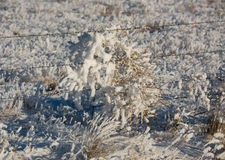 Tumbleweed coated in Thick Hoar Frost on Barbed Wire Fence Royalty Free Stock Photography