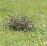 Tumbleweed grass field Stock Photography