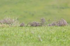 Tumbleweed grass field Stock Images