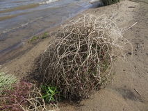 Tumbleweed. On the sandy bank of the river Royalty Free Stock Photo