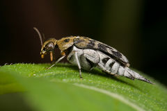 A tumbling flower beetle Royalty Free Stock Photos