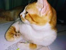 Tumblr do gato foto de stock royalty free