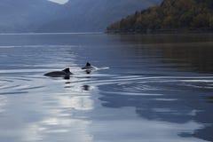 Tumlare i fjorden Arkivfoto