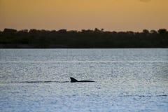 Tumlaren simmar i en flod på solnedgången arkivfoto