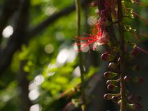 The Tummy-wood Red Flower Hanging. In The Garden Royalty Free Stock Photography