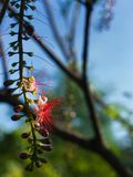 The Tummy-wood Red Flower Hanging. In The Garden Royalty Free Stock Photo