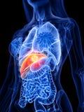 Tumore del fegato di una donna illustrazione vettoriale