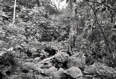 Tumultartad tempererad rainforestvegetation i svartvitt arkivfoto