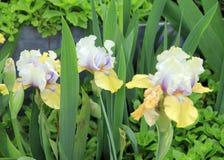 Tun-farbige Iris Stockbilder