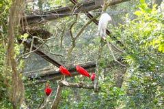 Tun Scharlachrot IBIS-Vogel auf der Natur in Foz Iguazu, Brasilien Lizenzfreies Stockfoto