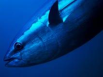 Free Tuna Royalty Free Stock Photography - 32193597