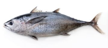 Tuna. Fully grown matured tuna heavy and large Royalty Free Stock Images