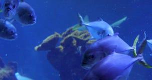 Tuna in blue water. Tuna in deep blue water stock video footage