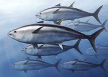 Tuna Royalty Free Stock Images