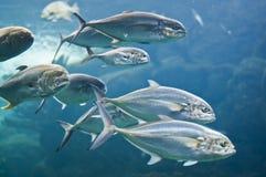 Tuna Fish. Saltwater Fish under water in Tampa aquairum - tuna pompano Stock Image