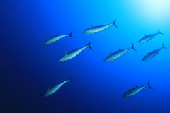 Tuna Fish Royalty Free Stock Photo