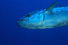 Tuna fish. In the open water of the ocean Royalty Free Stock Photography