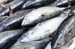 Free Tuna Fish Royalty Free Stock Image - 33584156