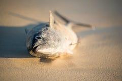 Tuna Fish Royalty-vrije Stock Foto